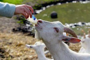חלב עיזים - מירי רימון | אימון בריאות ואיכות חיים